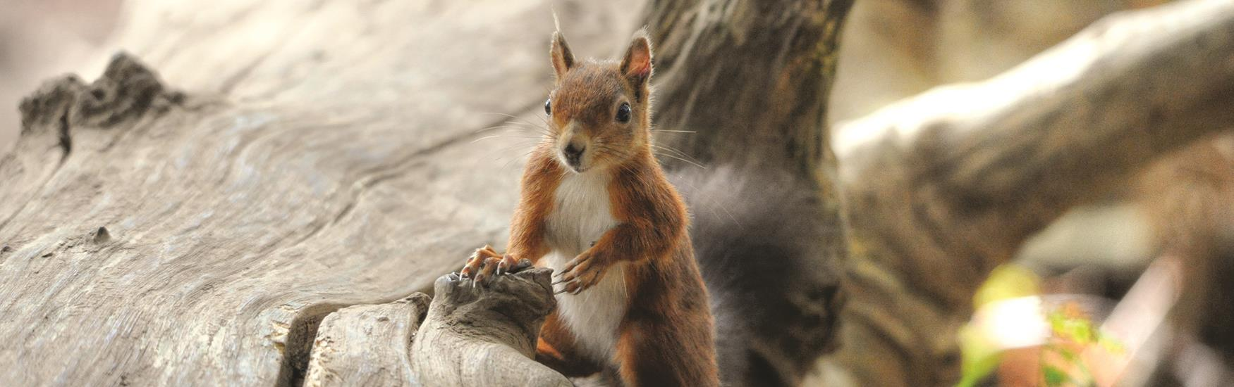 Red Squirrels can be spotted on Brownsea Island ©