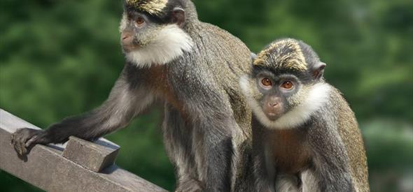 Monkey World - monkeys rescued from Lebanon |