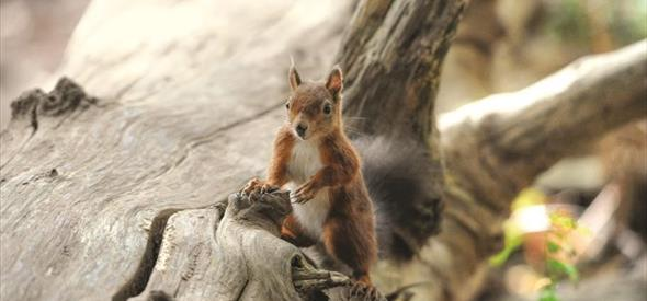 Brownsea island's infamous red squirrel