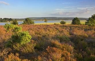 Arne Nature Reserve Heath Water