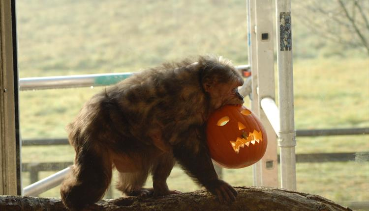 Monkey with carved pumpkin