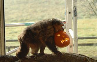 Stump tailed macaque carrying a carved pumpkin at monkey world