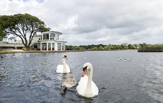 Swans paddling in the lake at Poole park