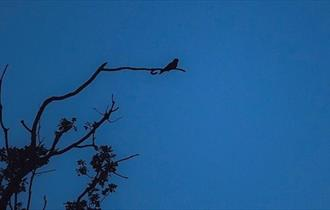 Silhouette of tree with nightjar, blue background.
