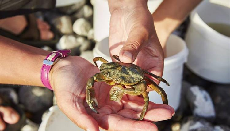 Pair of hands holding a live crab.